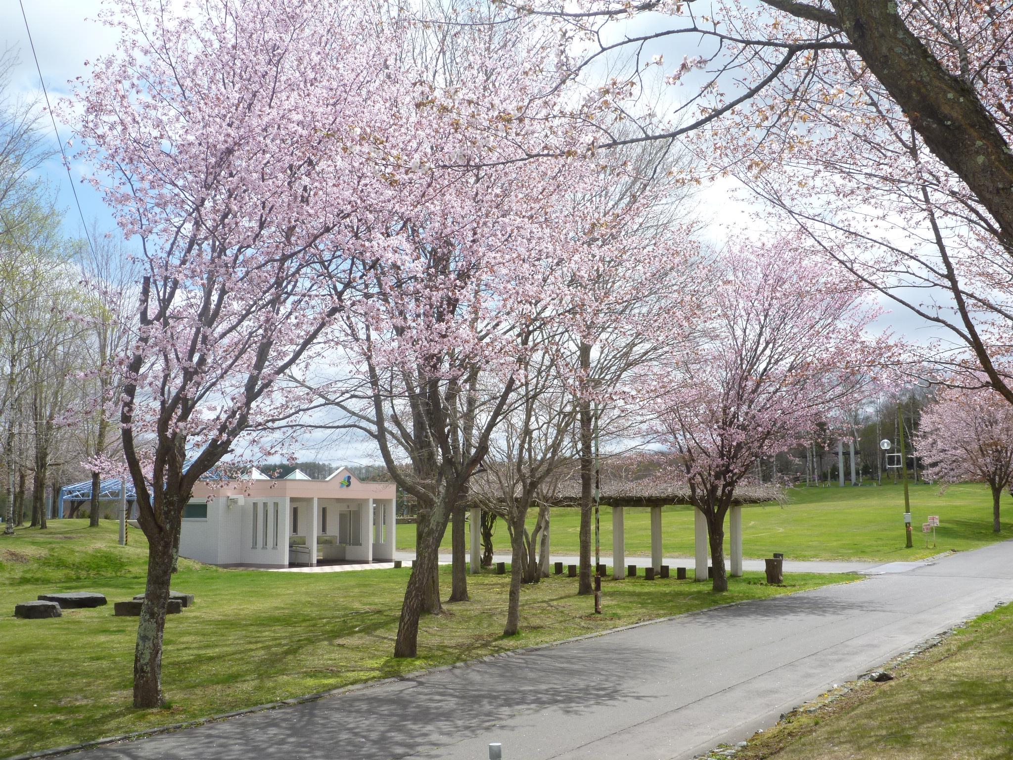 ときわ公園 桜2