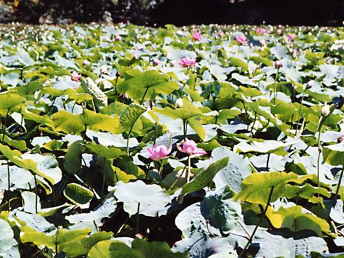 鶴の湯温泉 ハスの花